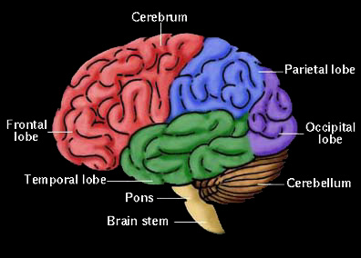 http://www.holisticeducator.com/brain.jpg